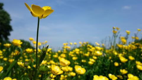 Image of buttercups from Pixabay